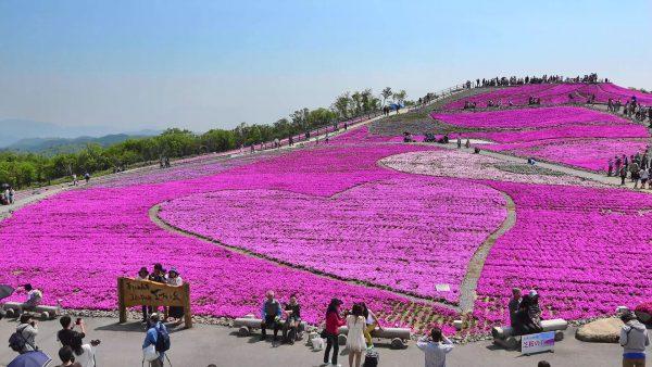 銀座のサプライズプロポーズ 茶臼山高原/芝桜の丘 愛知県