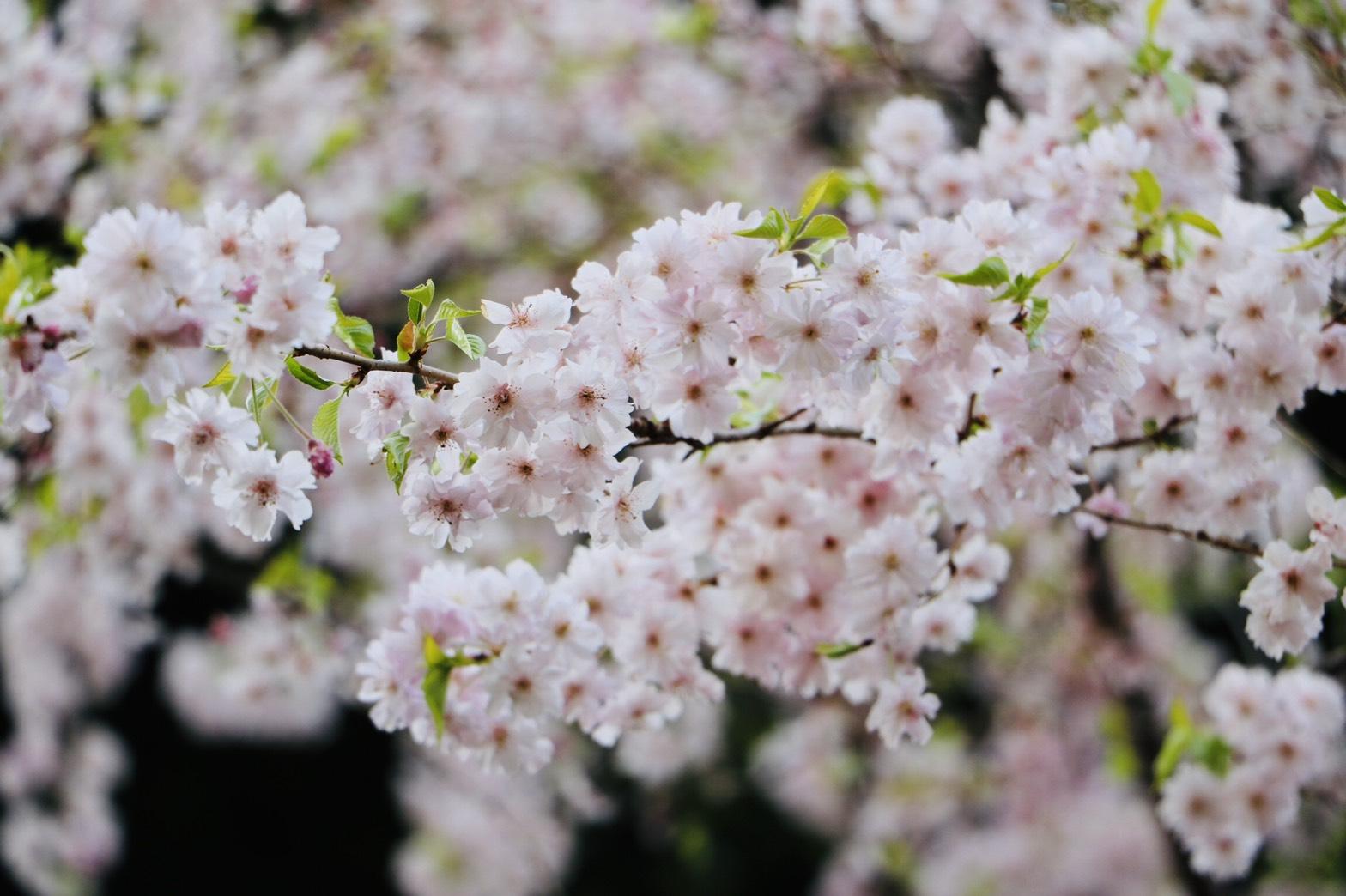 この春プロポーズにおすすめの桜スポットと可愛い婚約指輪